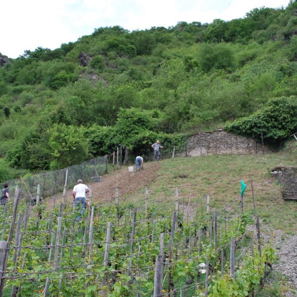 Rebpflanzung Weinbau Melchior Riesling Mittelrhein